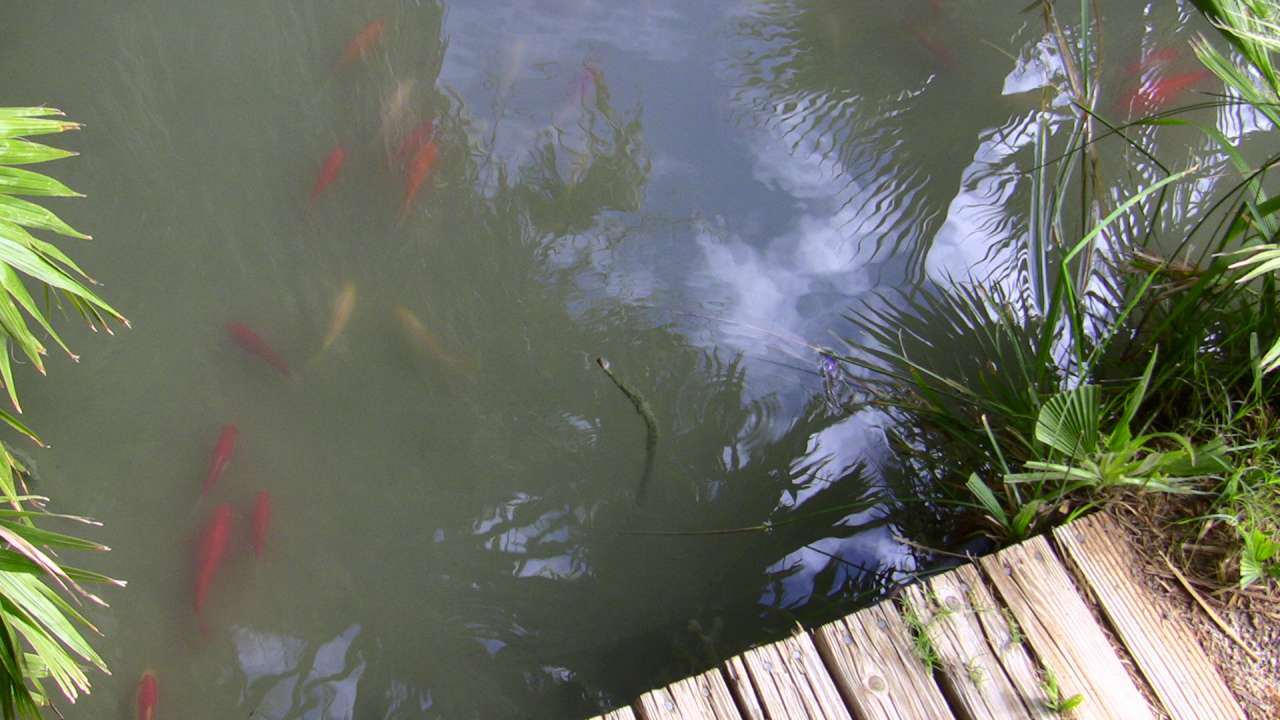 10-Gold fishes in the cold spring pond